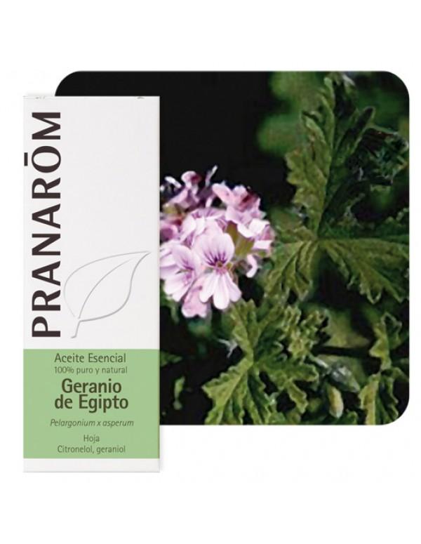 pelargonium x asperum